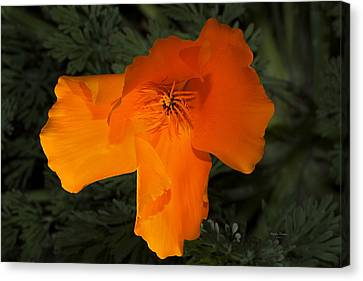 Bright California Poppy Canvas Print by Phyllis Denton