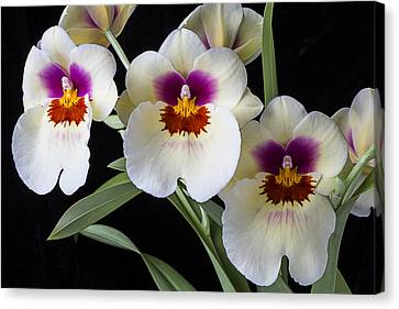 Bright Miltonia Orchids Canvas Print by Garry Gay