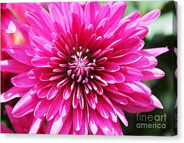 Canvas Print featuring the photograph Bright Pink Mum by Judy Palkimas