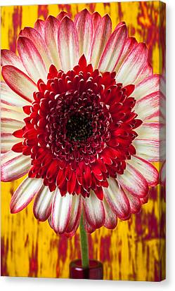 Bright Red And White Mum Canvas Print by Garry Gay