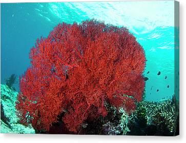 Bright Red Sea Fan Canvas Print