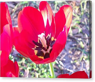 Canvas Print featuring the photograph Bright Red Tulip by Belinda Lee