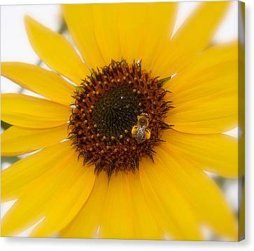 Canvas Print featuring the photograph Vibrant Bright Yellow Sunflower With Honey Bee  by Jerry Cowart