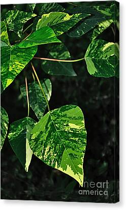 Bright Variegated Leaves Canvas Print by Kaye Menner