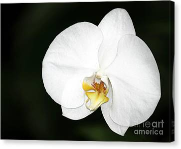 Bright White Orchid Canvas Print by Sabrina L Ryan