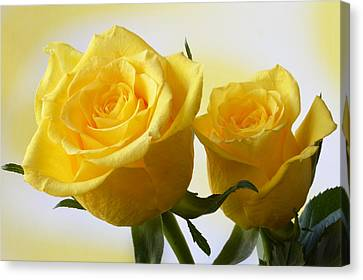 Bright Yellow Roses. Canvas Print by Terence Davis