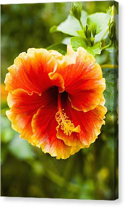 Brightly Colored Hibiscus Flowers Canvas Print by Naki Kouyioumtzis