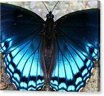Brilliant Butterfly Canvas Print by Candice Trimble