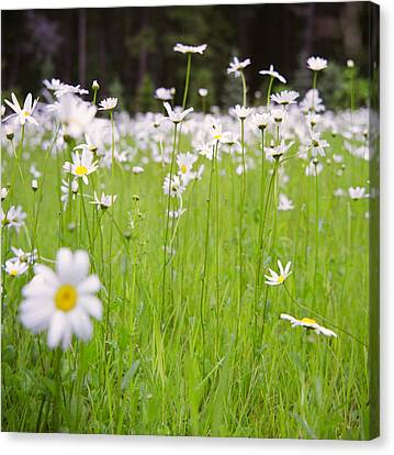 Brilliant Daisies Canvas Print