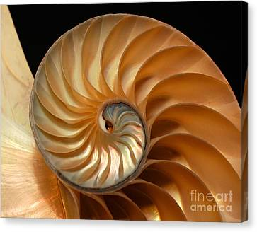 Brilliant Nautilus Canvas Print by Phil Cardamone
