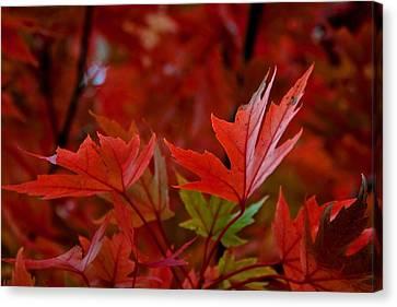 Brilliant Red Maples Canvas Print