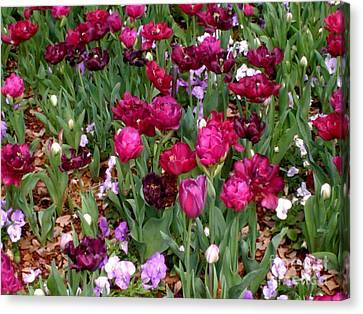 Brilliant Tulips  Canvas Print
