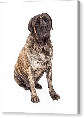 Brindle English Mastiff Dog Sitting Canvas Print by Susan Schmitz