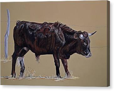 Brindle Steer Canvas Print by Ann Marie Chaffin