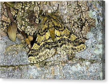 Brindled Beauty Moth Canvas Print