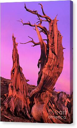 Canvas Print featuring the photograph Bristlecone Pine At Sunset White Mountains Californa by Dave Welling