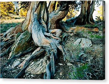 Bristlecone Pine Grove At Ancient Canvas Print