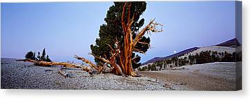 Bristlecone Pine Tree In Ancient Canvas Print