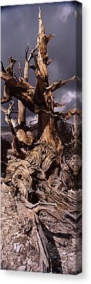 Bristlecone Pine Tree Pinus Longaeva Canvas Print by Panoramic Images