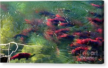 British Columbia Salmon Run  Canvas Print by Kathy Bassett