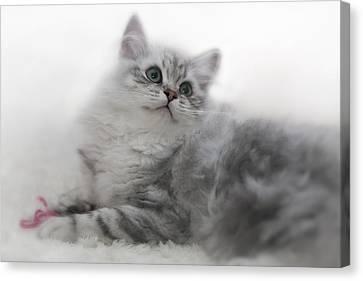 British Longhair Kitten Canvas Print by Melanie Viola