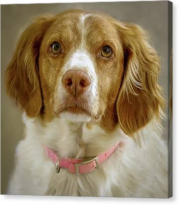 Brittany Portrait Canvas Print by Bradley Clay