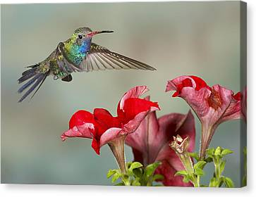 Broad Billed Hummingbird 4 Canvas Print
