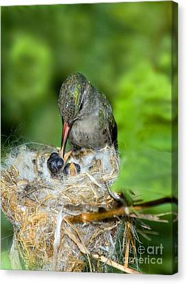 Broad-billed Hummingbird And Young Canvas Print by Anthony Mercieca