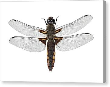 Broad-bodied Chaser Dragonfly Canvas Print by F. Martinez Clavel