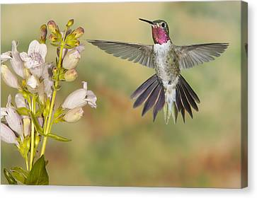 Broad Tailed Hummingbird 2 Canvas Print