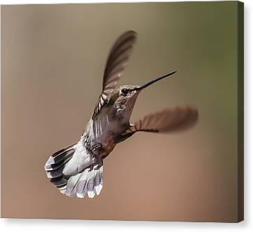 Broad-tailed Hummingbird 2 Canvas Print by Lee Kirchhevel