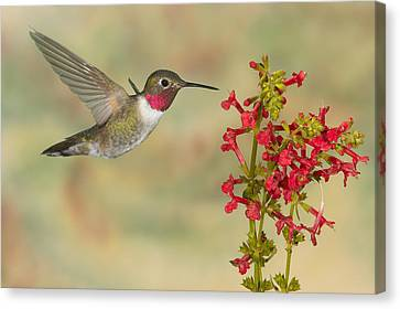 Broad-tailed Hummingbird 5 Canvas Print