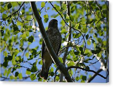 Canvas Print featuring the photograph Broad-winged Hawk by James Petersen