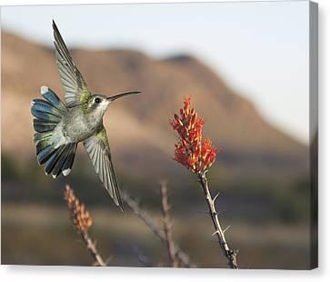 Broadbill Hummingbird And Octicillo Canvas Print by Gregory Scott