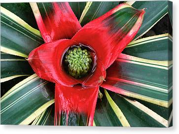 Bromeliad Canvas Print - Bromeliad Abstract by Nigel Downer