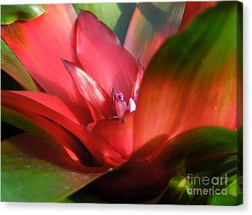Bromeliad Canvas Print by Chad and Stacey Hall