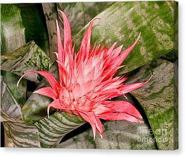 Bromeliad Flower Aechmea Canvas Print