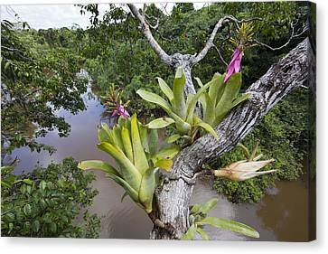 Bromeliad Pair Flowering Pacaya Samiria Canvas Print by Cyril Ruoso