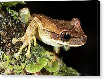 Bromeliad Treefrog Canvas Print