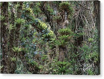 Bromeliads And Other Epiphytes Canvas Print by Art Wolfe