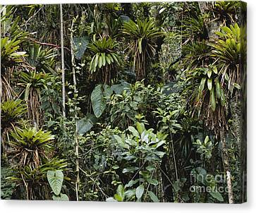 Bromeliads In Colombia Canvas Print by Art Wolfe