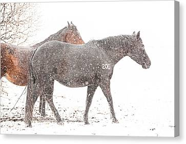 Broodmares In A Snow Flurry Canvas Print by Terri Cage
