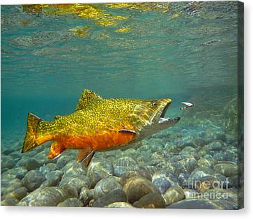 Brook Trout And Coachman Wet Fly Canvas Print by Paul Buggia