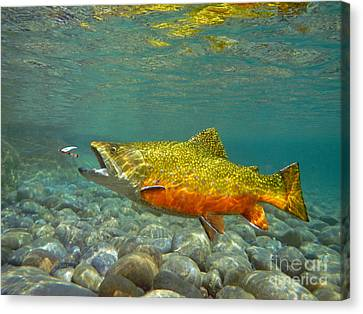 Brook Trout Image Canvas Print - Brook Trout And Royal Coachman by Paul Buggia