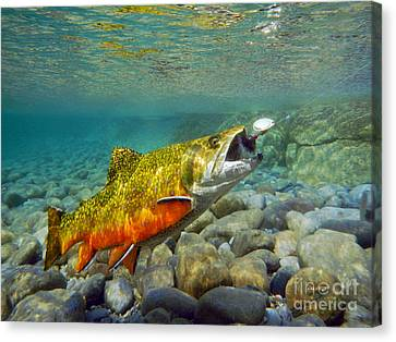 Brook Trout Image Canvas Print - Brook Trout And Spinner by Paul Buggia