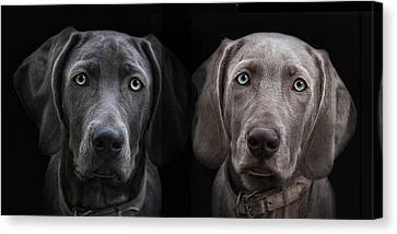 Weimaraner Canvas Print - Brother And Sister by Joachim G Pinkawa