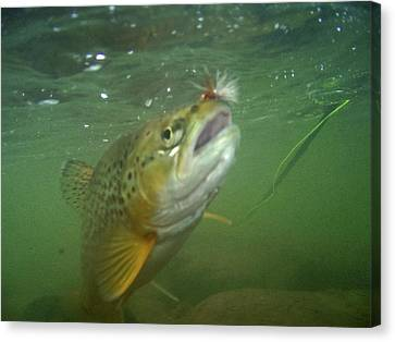 Brow Trout In Gallatin River Canvas Print by Jason Standiford