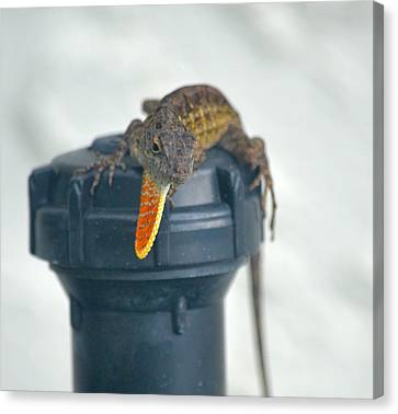 Brown Anole With Dewlap Canvas Print by Richard Bryce and Family