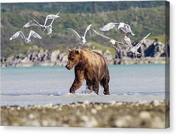 Brown Bear And Seagulls Canvas Print