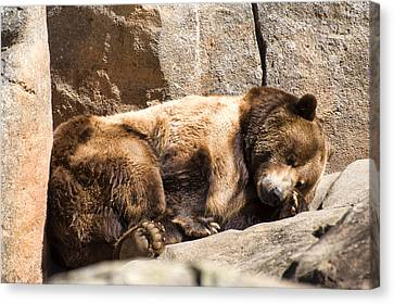 Brown Bear Asleep Again Canvas Print by Chris Flees